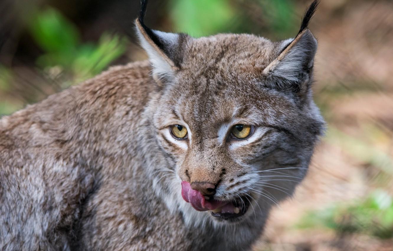 Photo wallpaper language, face, predator, lynx, wild cat, licked