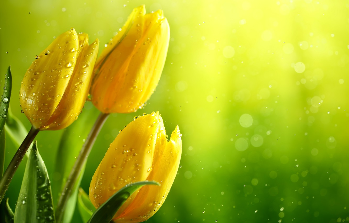 Photo wallpaper greens, leaves, water, drops, glare, background, yellow, tulips, buds, wet, bokeh, closeup