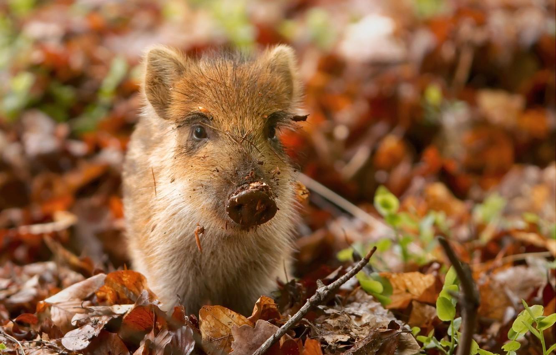 Photo wallpaper beast, pig, wild, pig, hog