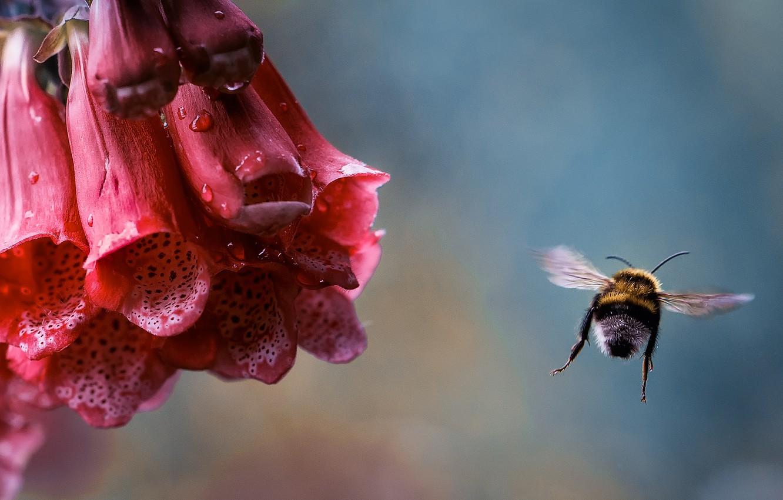 Photo wallpaper flower, drops, macro, flight, Rosa, insect, bumblebee