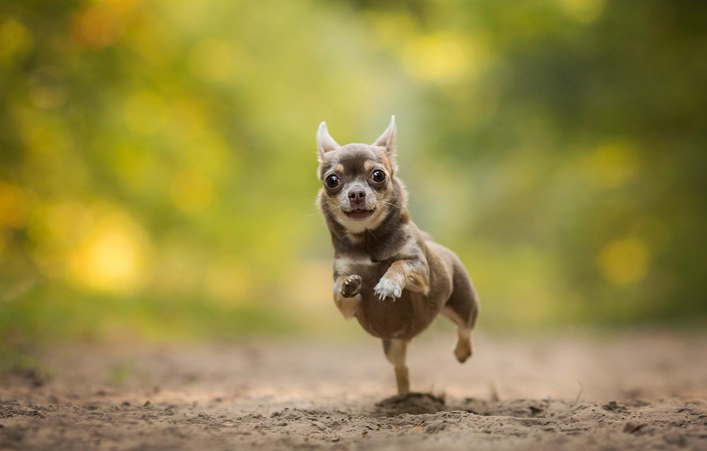 Photo wallpaper dog, running, Chihuahua, bokeh, doggie