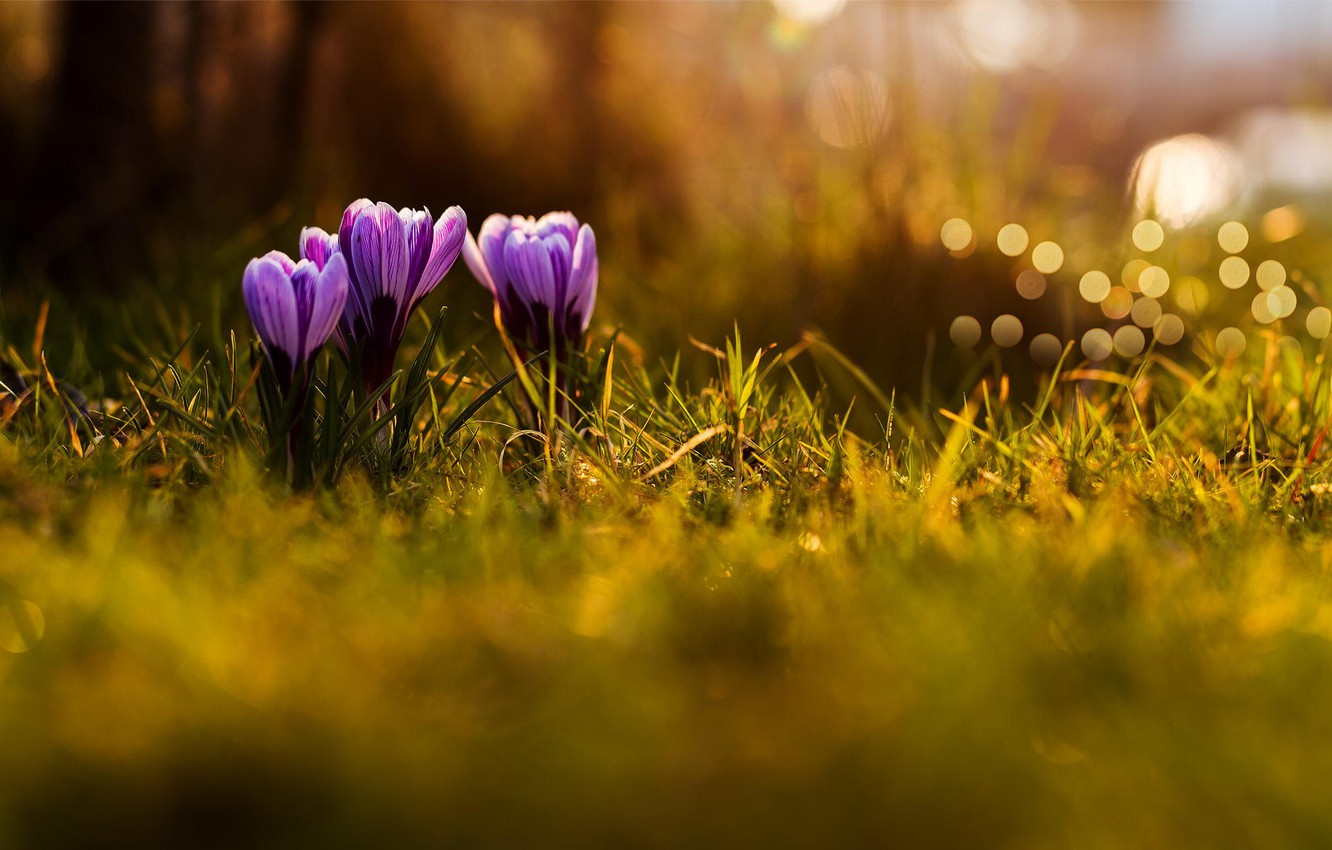 Photo wallpaper grass, macro, flowers, nature, spring, purple, crocuses, lilac, bokeh
