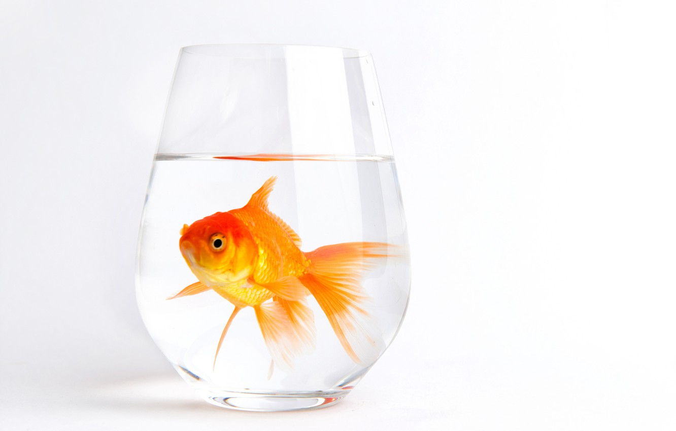 Photo wallpaper white, water, glass, background, fish, gold