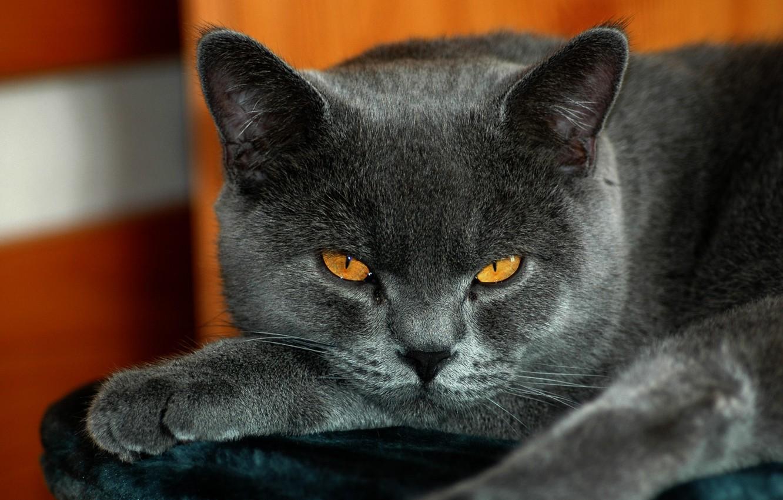 Photo wallpaper cat, British, yellow eyes, gray color