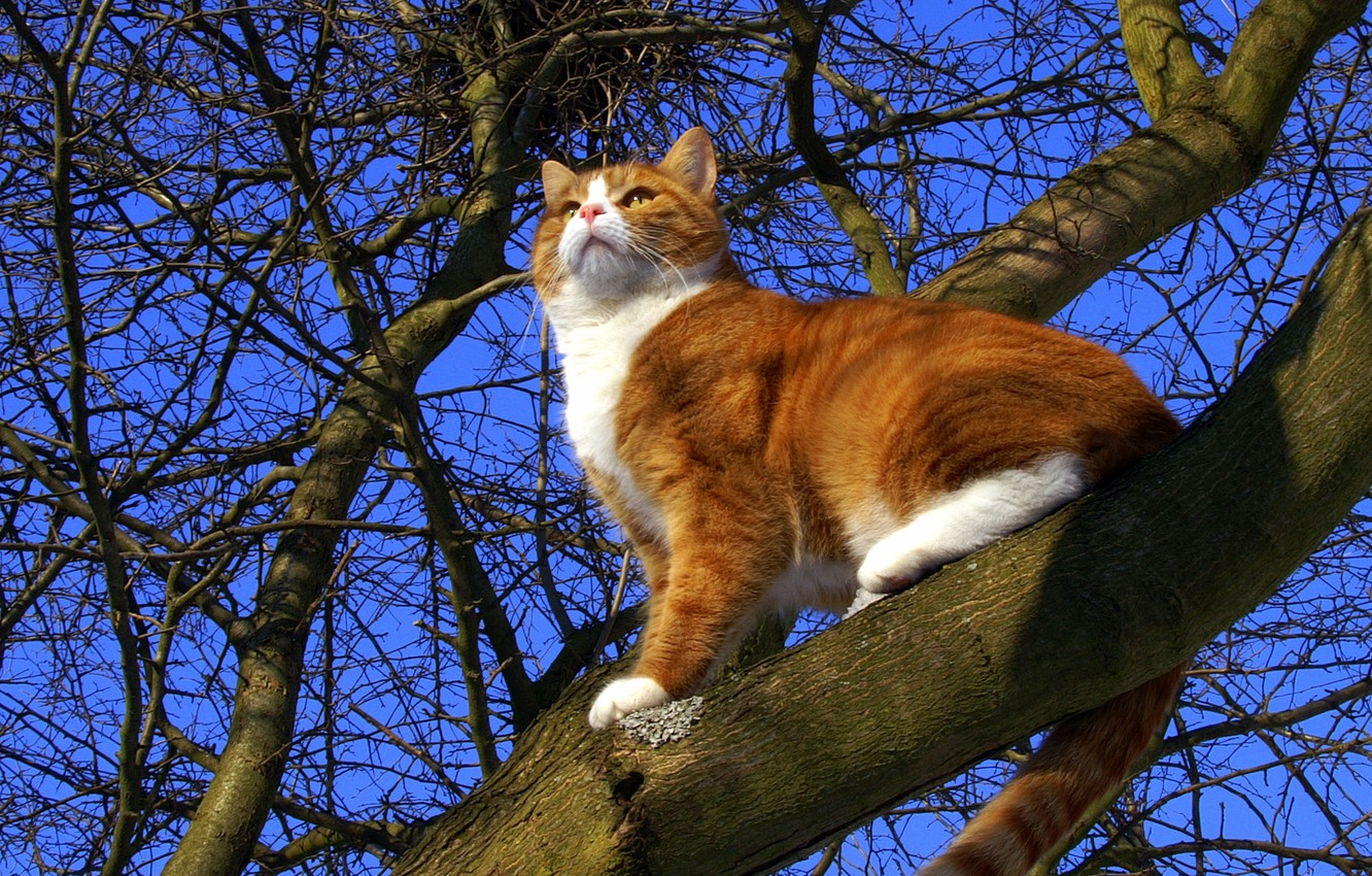Photo wallpaper cat, the sky, cat, tree, spring, red, pussy, cat, Mats&Muffi's