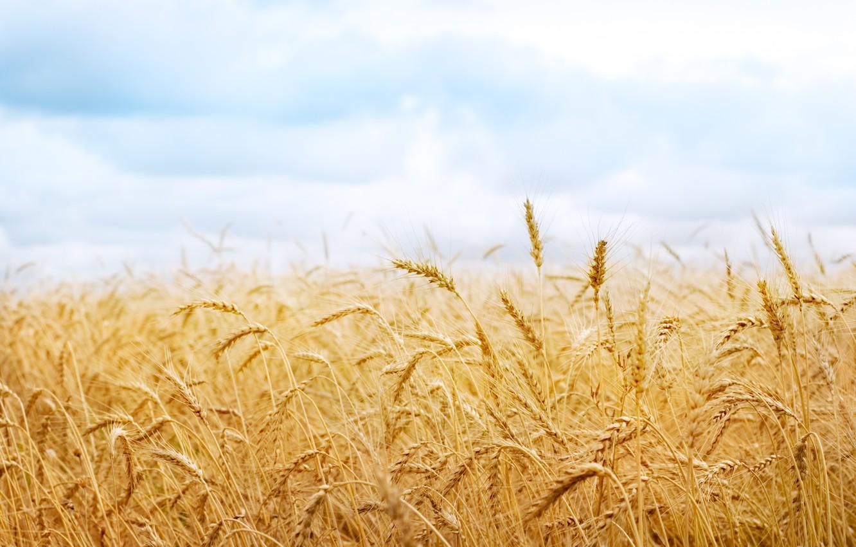 Photo wallpaper wheat, harvest, spikelets, ears, spike, nature field