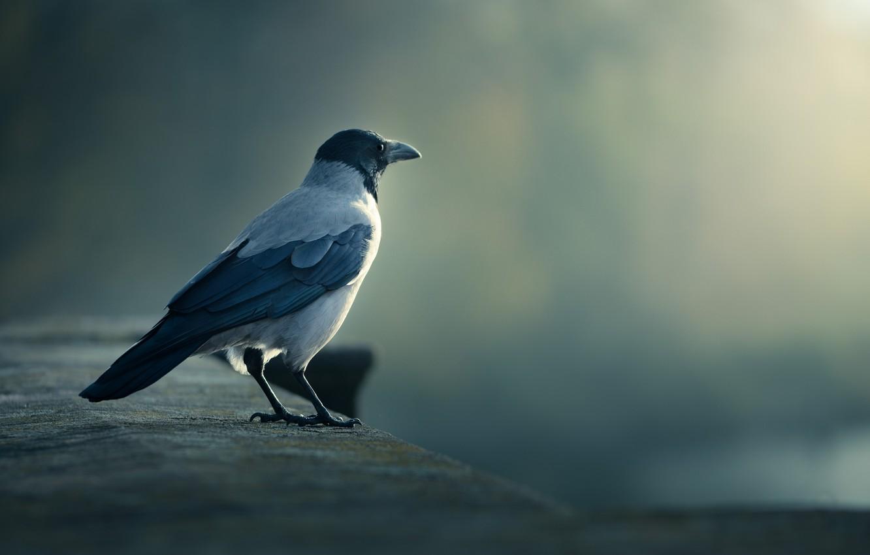 Photo wallpaper bird, crow, looks