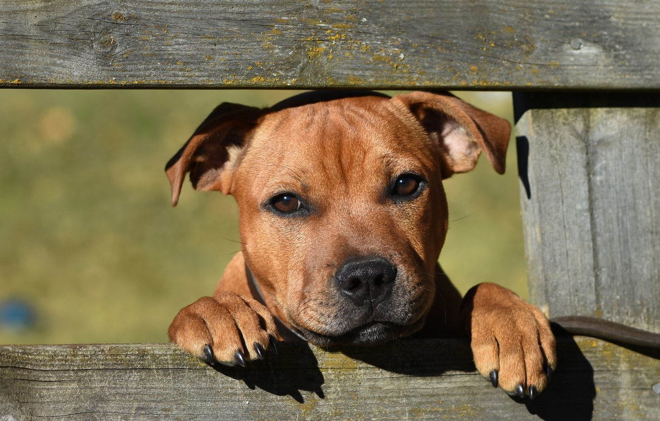 Photo wallpaper look, face, the fence, dog, Staffordshire bull Terrier