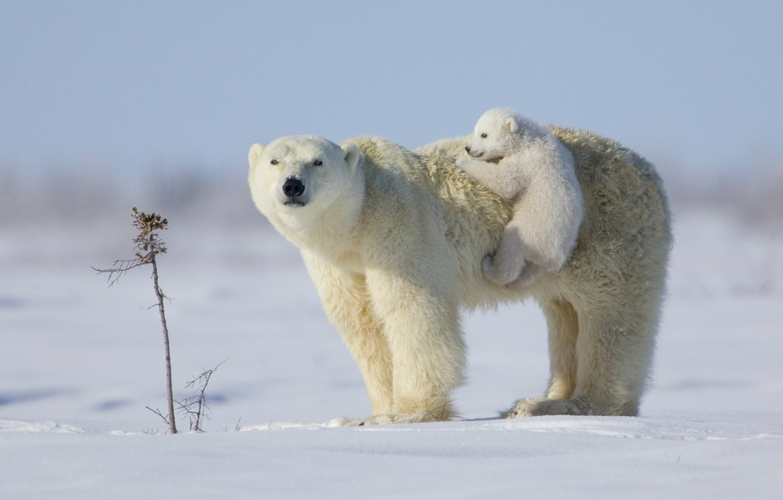 Wallpaper White Puppy Snow Teddy Bear Situation Bears Polar