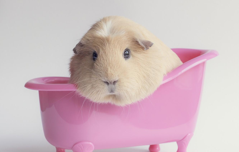 Photo wallpaper background, pink, bath, Guinea pig