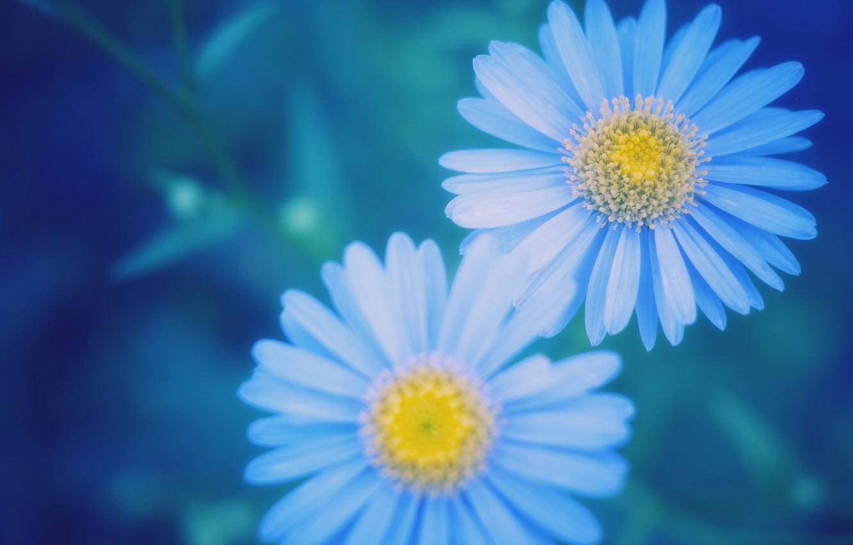 Photo wallpaper macro, blur, blue, Daisy