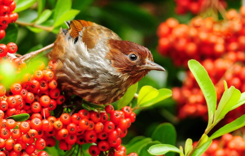 Photo wallpaper branches, berries, bird