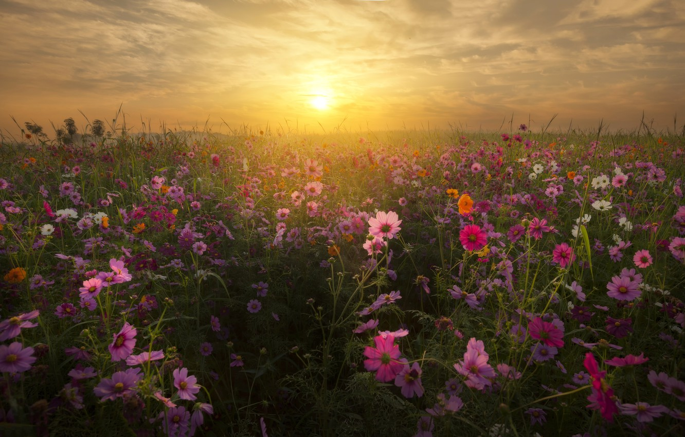 Photo wallpaper field, space, sunset, flowers, kosmeya