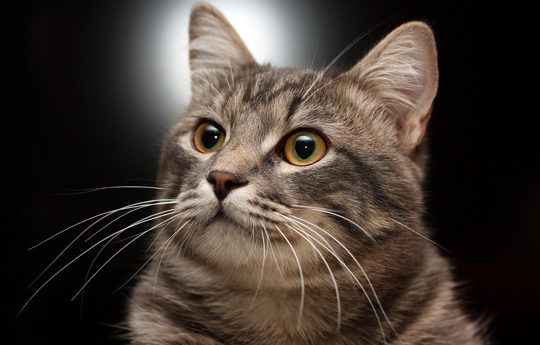 Photo wallpaper cat, pose, handsome