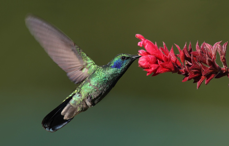 Photo wallpaper flower, macro, bird, Hummingbird, bird, Hummingbird