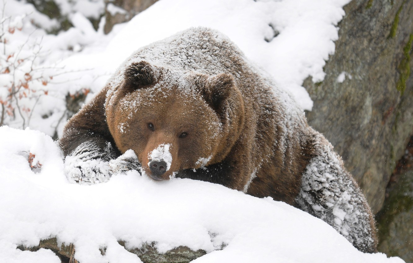 Photo wallpaper winter, bear, grizzly