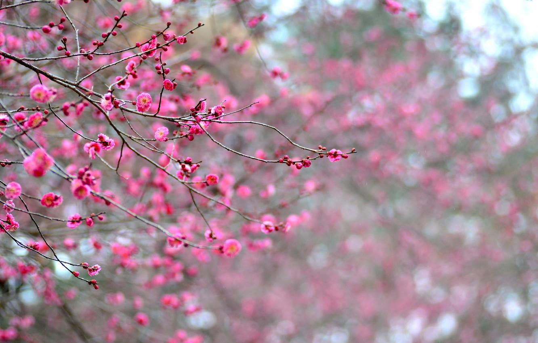 Photo wallpaper macro, flowers, branches, tree, focus, petals, Japan, blur, pink, apricot, flowering, raspberry