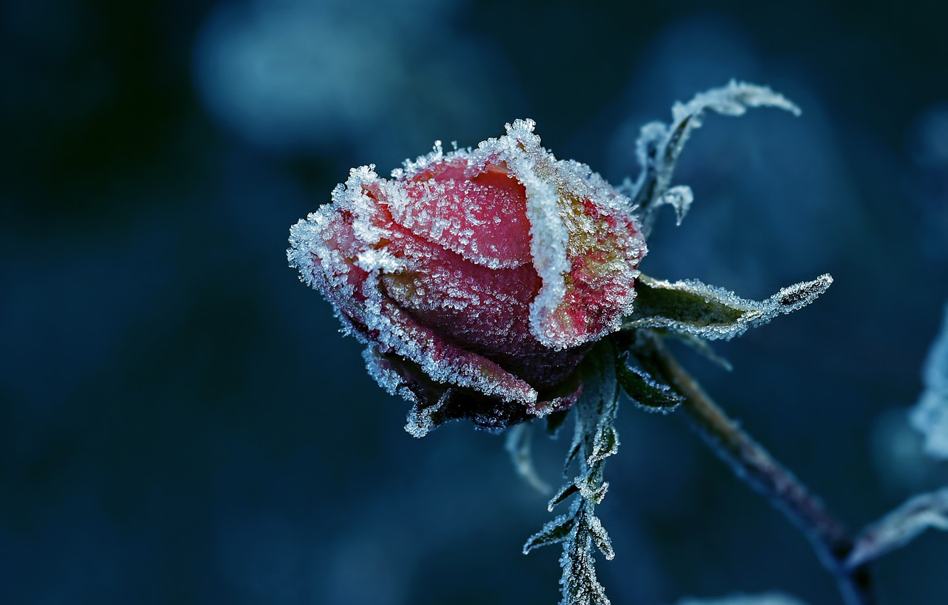 Photo wallpaper frost, rose, Bud