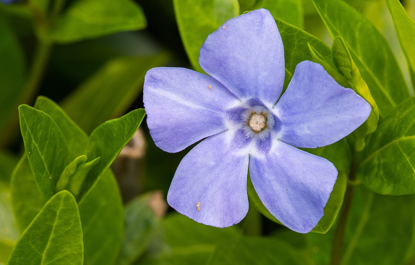 Wallpaper Macro Petals Leaves Periwinkle Images For