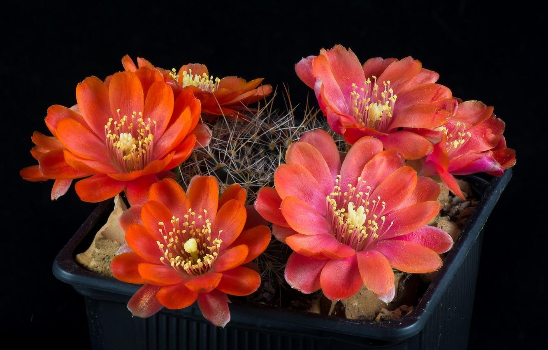 Photo wallpaper flowers, background, black, cactus