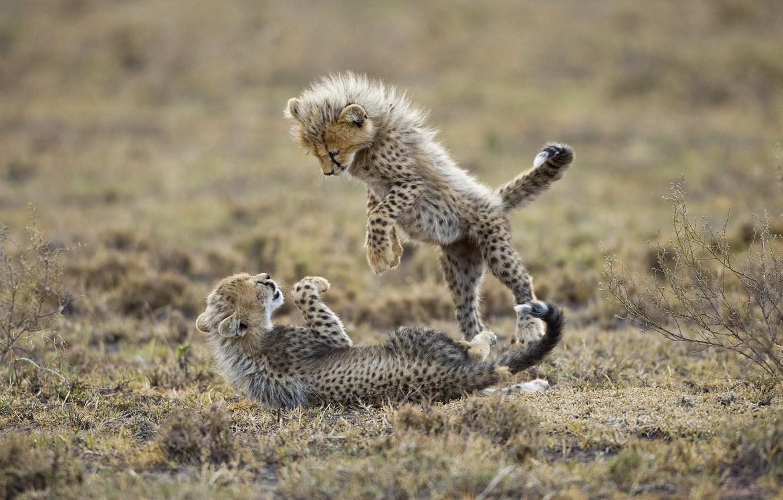 Photo wallpaper the game, predators, kittens, cheetahs, cubs