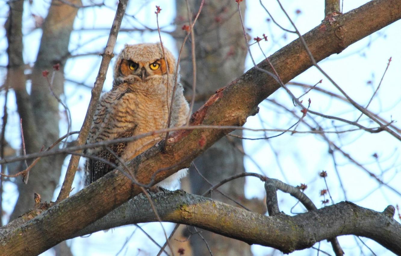 Photo wallpaper branches, tree, owl, bird
