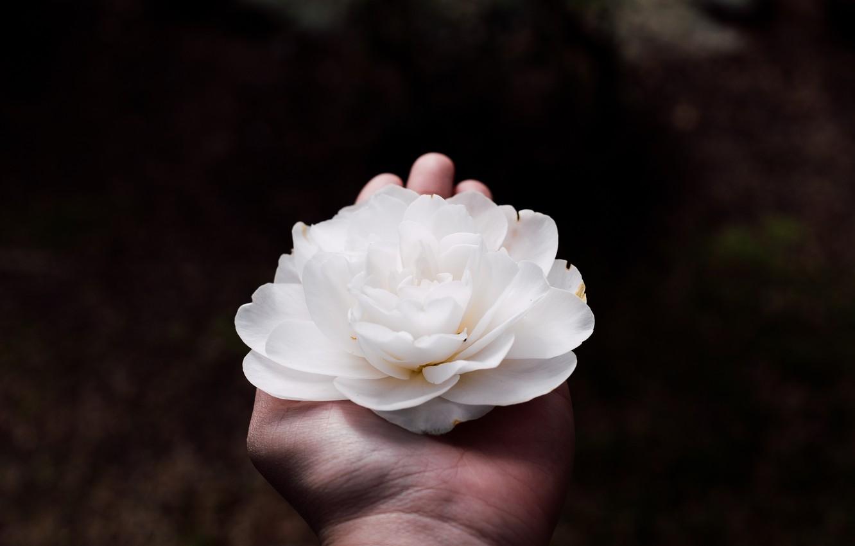 Photo wallpaper white, flower, hand, petals