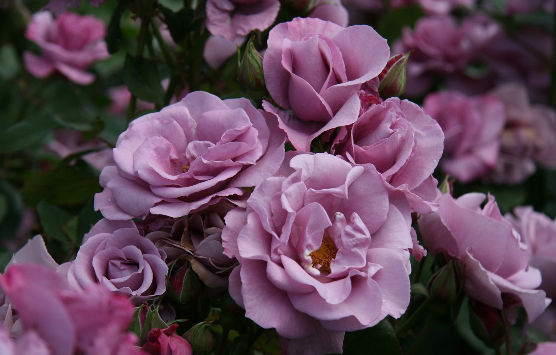 Photo wallpaper flowers, nature, Bush, roses, plants, petals, garden, pink, buds
