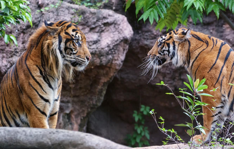 Photo wallpaper look, cats, tiger, pair, profile, Sumatran