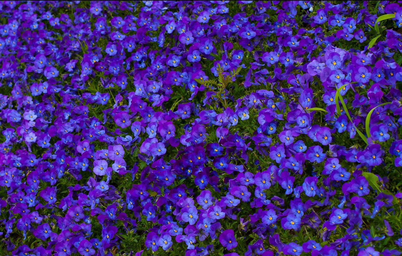Photo wallpaper summer, flowers, blue, nature, glade, Pansy