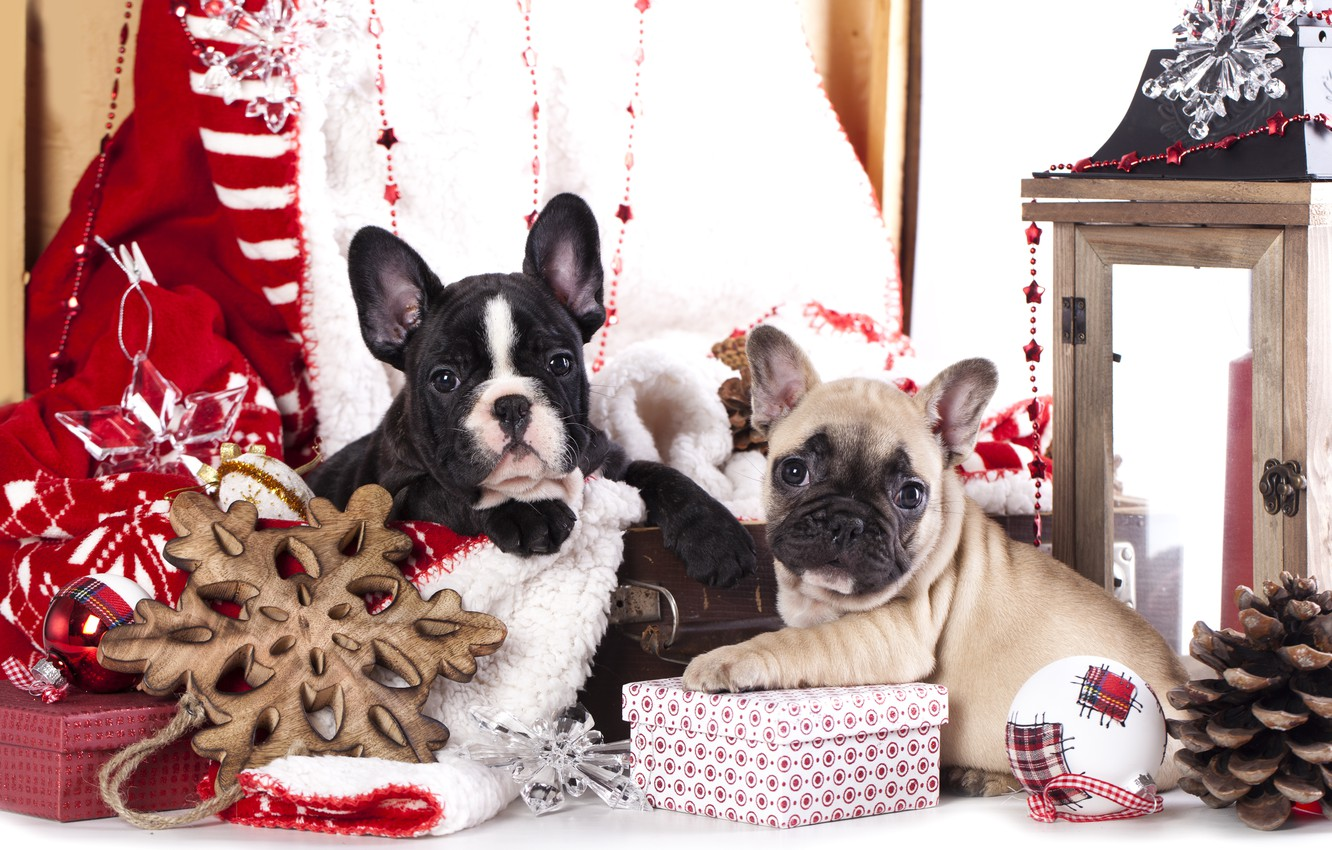 Photo wallpaper dogs, decoration, puppies, gifts, French bulldog