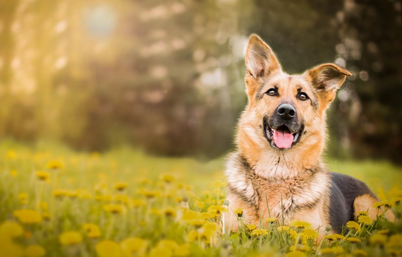 Photo wallpaper flowers, dog, dandelions, German shepherd, shepherd