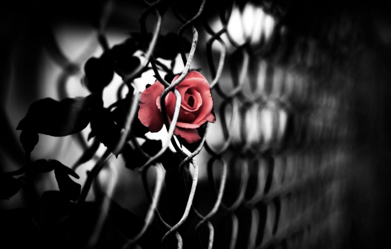 Photo wallpaper mesh, rose, red, netting