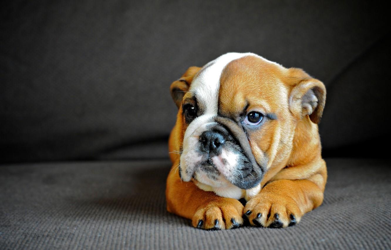 Photo wallpaper dog, puppy, English bulldog