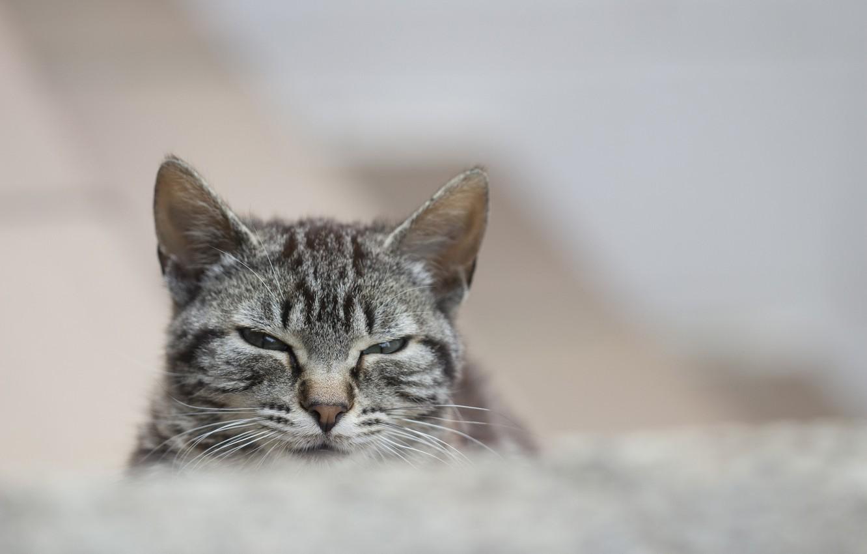 Photo wallpaper cat, cat, look, grey, portrait, striped