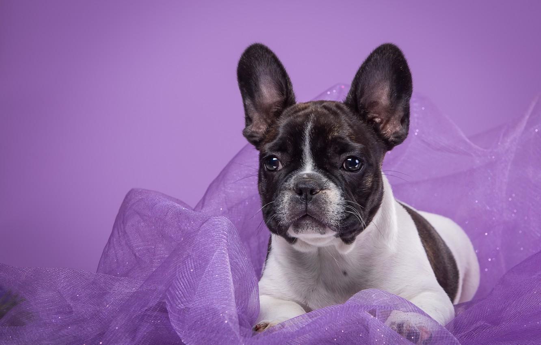 Photo wallpaper spot, fabric, French bulldog