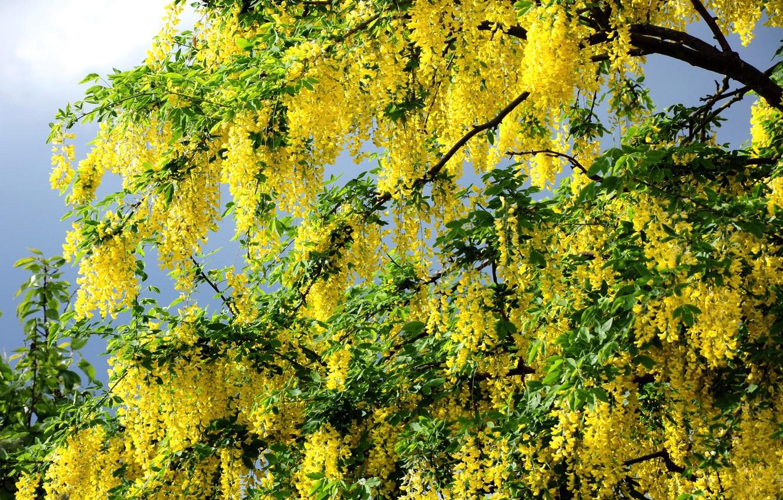 Photo wallpaper PETALS, TREE, GREENS, LEAVES, FLOWERS, SPRING, BRANCHES, SUMMER, YELLOW, AWAKENING