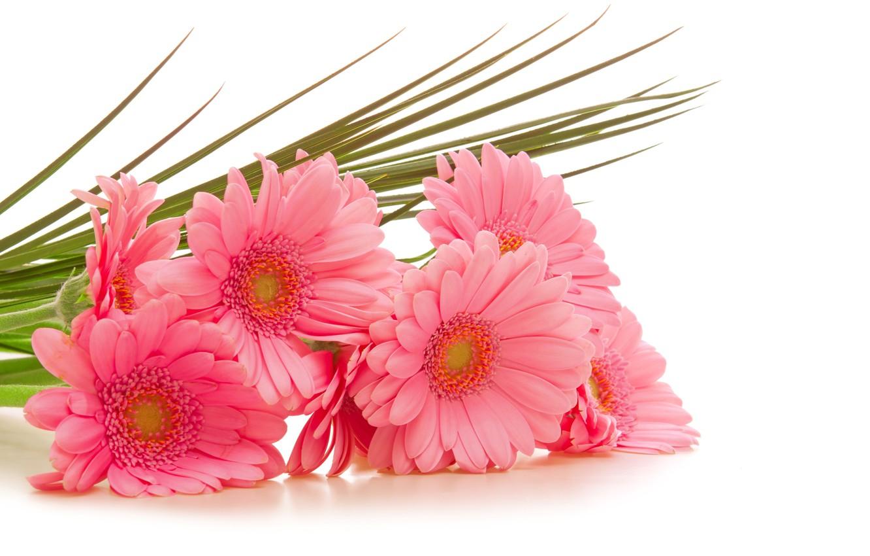Wallpaper flowers, white background, pink, gerbera, gerbera