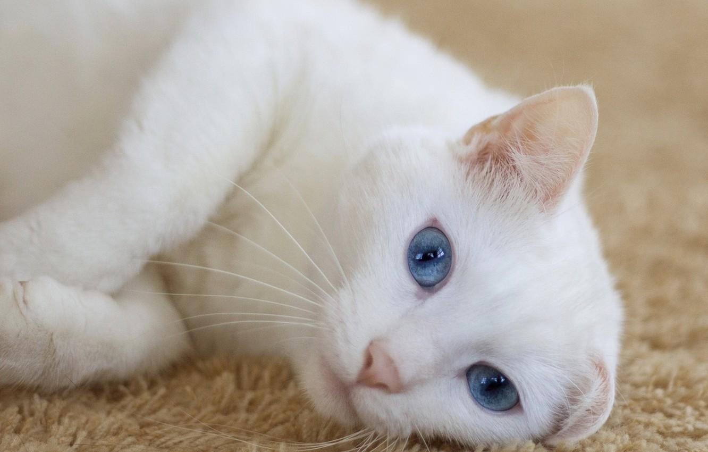 Photo wallpaper cat, lies, looks, cat, looking, lying