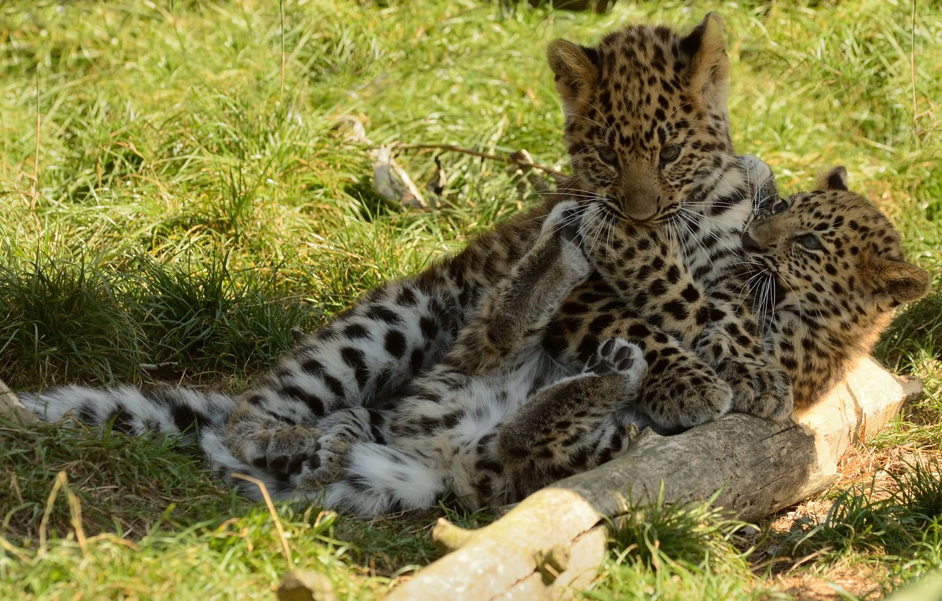 Photo wallpaper the game, kittens, the baby leopard