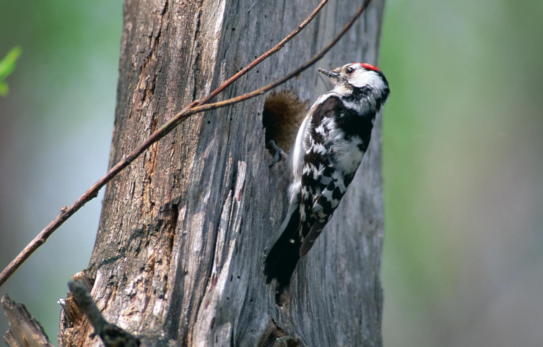 Photo wallpaper tree, bird, woodpecker