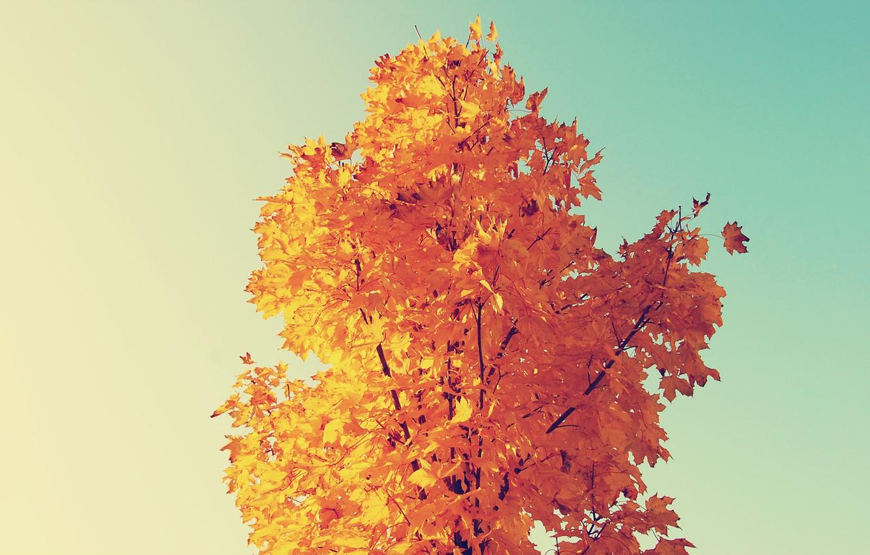 Photo wallpaper autumn, yellow, maple