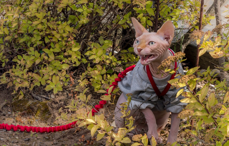 Photo wallpaper cat, cat, leash, the bushes, aggressive, Sphinx