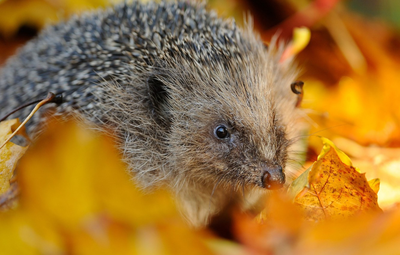 Photo wallpaper autumn, leaves, needles, hedgehog