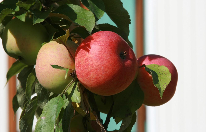 Photo wallpaper nature, apples, plant, food, branch, garden, fruit, Apple