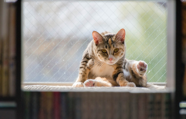 Photo wallpaper cat, cat, background, animal, widescreen, Wallpaper, window, wallpaper, sitting, widescreen, cat, background, window, animal, full …