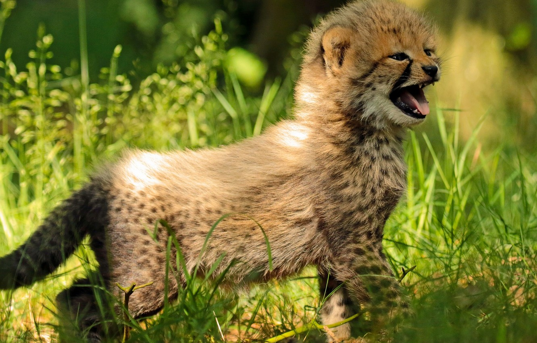 Photo wallpaper grass, baby, Cheetah, cub, kitty