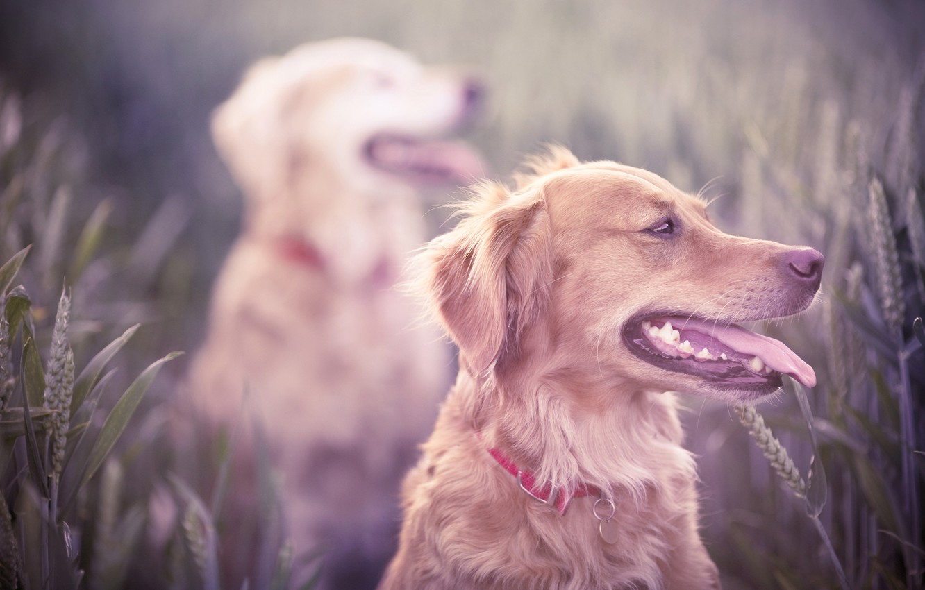 Photo wallpaper field, dogs, grass, teeth, dog, mouth, hunting, ears, breed, Retriever