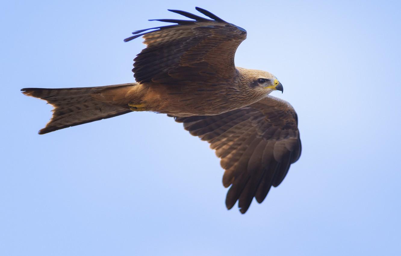 Photo wallpaper the sky, background, bird, blue, wings, predator, flight, stroke, Milvus migrans, black kite, black kite
