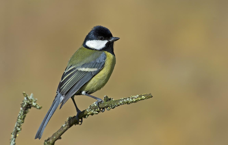 Photo wallpaper bird, branch, tit